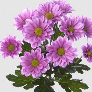 Черенок хризантемы веточной