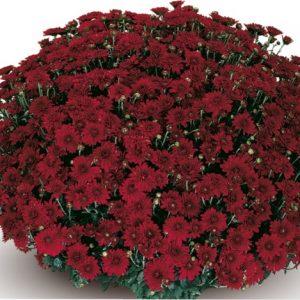 Черенок хризантемы горшечной мелкоцветковой (Multiflora)