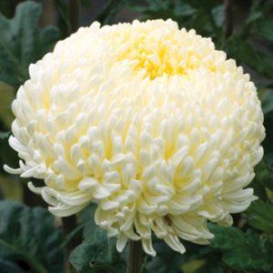 Chrysanthemum 'Creamist' AGM