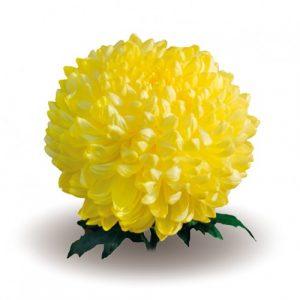 Черенок хризантемы крупноцветковой