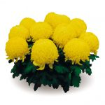Хризантема горшечная крупноцветковая