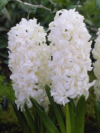 Hyacinth Madame Sophie