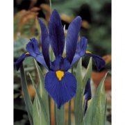 iris-hollandica-sea-of-blue-1