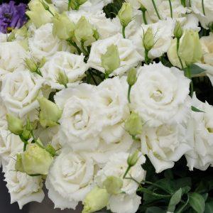 lisianthus-alissa-1-white-square