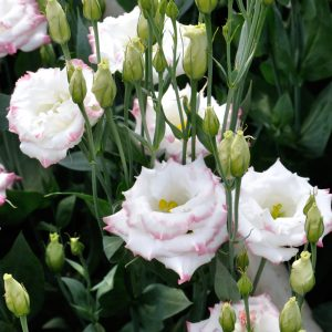 lisianthus-aube-pinkpicotee