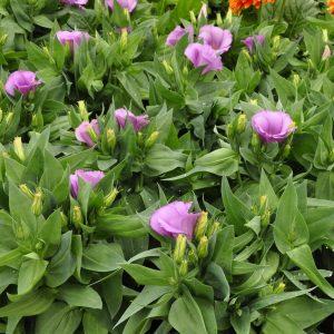 lisianthus carmen lilac