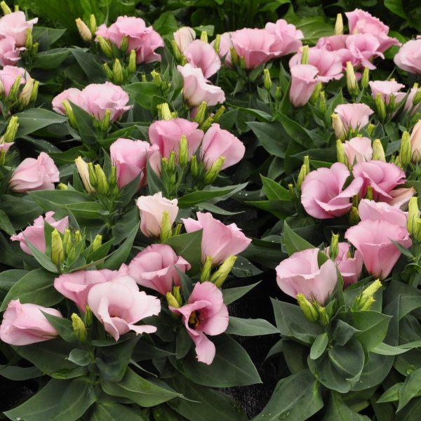 lisianthus carmen rose
