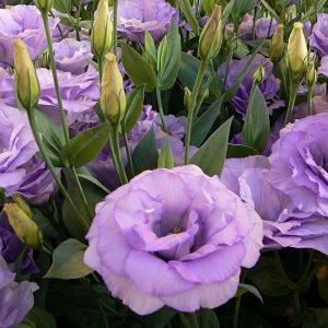 lisianthus-mariachi-lavender-square