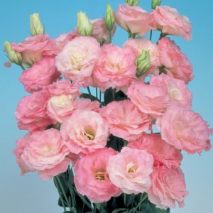 lisianthus-mariachi-mistypink-square
