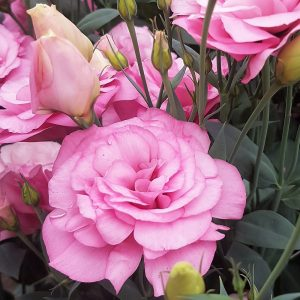 lisianthus-mariachi-pink-2-square