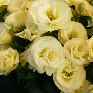 lisianthus-mariachi-yellow-square