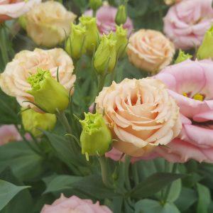 lisianthus-rosita2-apricot-square