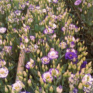 lisianthus rosita2 bluepicotee