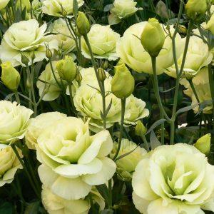 lisianthus-rosita2-green-square