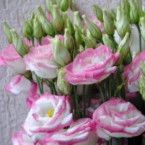 lisianthus rosita2 hotlips