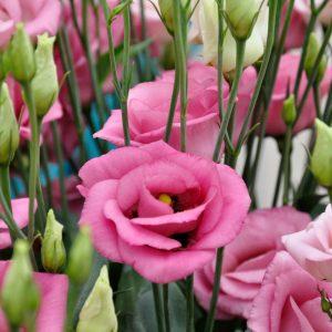 lisianthus rosita2 rosepink