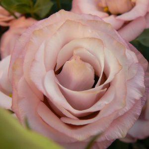 lisianthus rosita3 pink