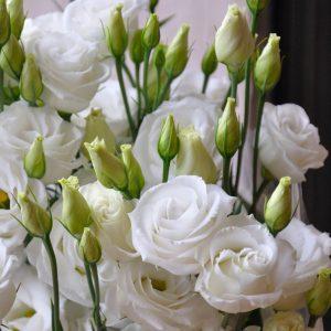 lisianthus rosita3 purewhite