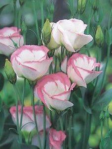 pink Picote