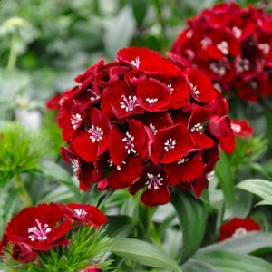 Семена гвоздики турецкой на срез (Dianthus Barbatus)