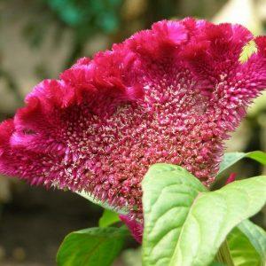 Семена целозии на срез (Celosia Bombay)