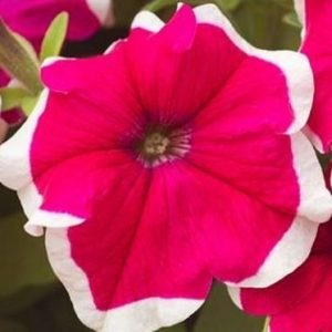 розе 2