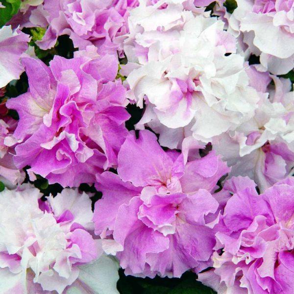petunija-double-cascade-orchid-mist-f1-10-shtuk-draje