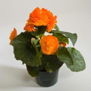 априкот оранж 2