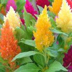 Семена целозии (Celosia Plumosa)