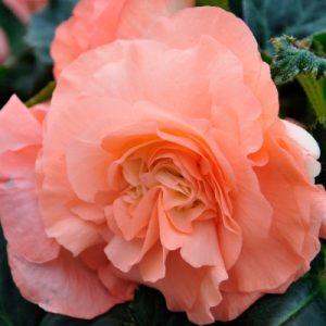 салмон розе