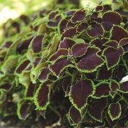 Coleus 'Chocolate Mint'  (W. Atlee Burpee & Co.)
