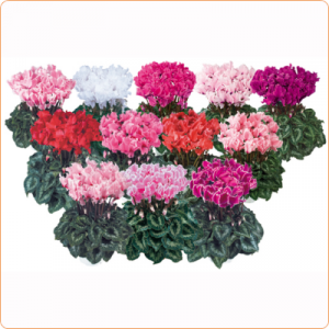 cyclamen-halios--melange-curly-400-400