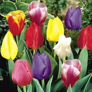 Тюльпаны Дарвина гибрид