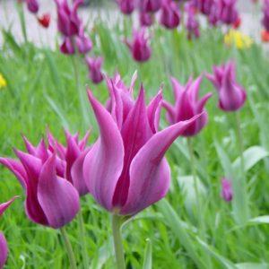 Тюльпаны лилейные