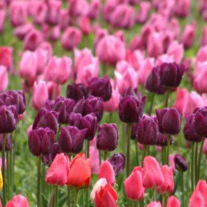 Простые поздние тюльпаны