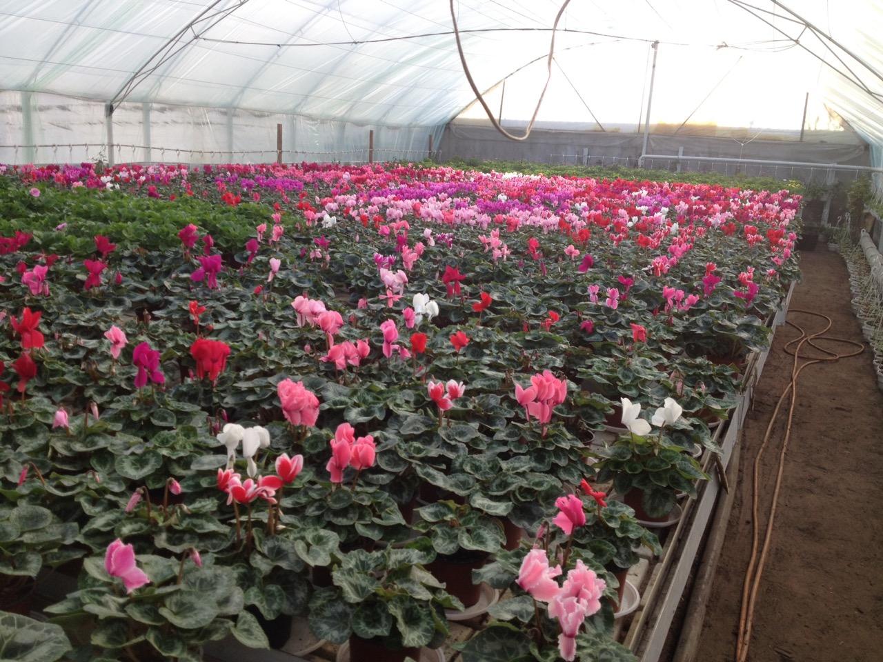 Выращивание примулы в теплицах 68