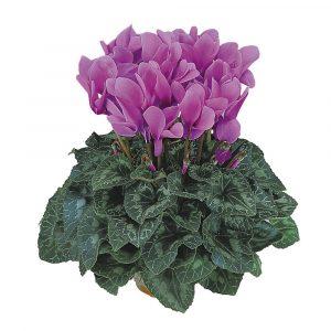 HD Violet Cattlea