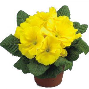 Megan Lemon Yellow