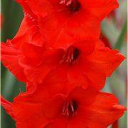 red_matador_gladiolus_hybridus_01