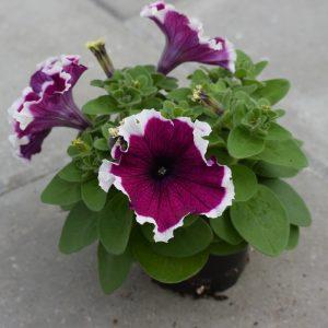 Petunia Limbo