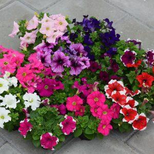 Рассада цветов из Европы