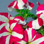 роуз стар 2
