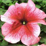 Petunia Tritunia