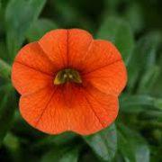 Colibri Orange 3