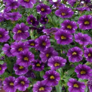 Colibri Purple Lace 2