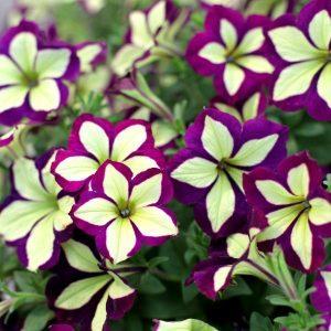 Frisky Purple 3