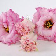 Alissa 1 Rose 2