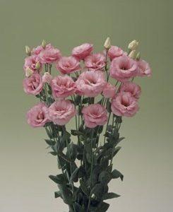 Arena 4 Rose