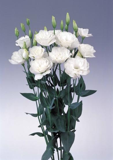 Borealis White 2