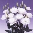 Borealis White